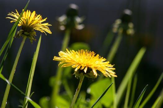 common-dandelion-dandelion-flower-bud-56896