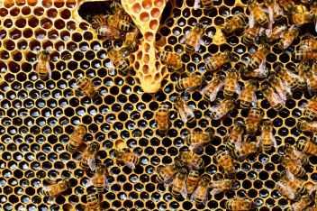 queen-cup-honeycomb-honey-bee-new-queen-rearing-compartment-56876
